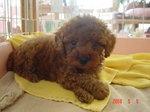 静岡県富士市のペットショップ仔犬の家Poccke5-05.JPG04394.JPG