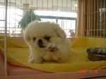 静岡県富士市のペットショップ仔犬の家Poccke5-24.JPG1.JPG