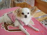 静岡県富士市のペットショップ仔犬の家Poccke5-26.JPG.JPG