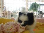 静岡県富士市のペットショップ仔犬の家Poccke6-1.JPGDSC04595.JPG