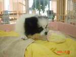 静岡県富士市のペットショップ仔犬の家Poccke6-12.JPGDSC04639.JPGDSC0DSC04654.JPG