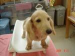 静岡県富士市のペットショップ仔犬の家Poccke6-21.JPGDSC04639.JPGDSC04717.JPG