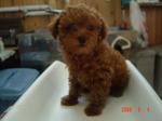 静岡県富士市のペットショップ仔犬の家Poccke6-4DSC04604.JPGDSC04610.JPG