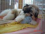静岡県富士市のペットショップ仔犬の家Poccke6-9.JPGDSC04639.JPG