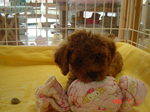 静岡県富士市のペットショップ仔犬の家Poccke(ポッケ)子犬・Tプードル6-5(メス・レッド).JPGDSC04613.JPG