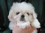 DSC04030静岡県富士市のペットショップ仔犬の家Poccke3-19-1.JPG.JPG