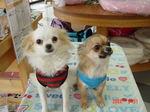 DSC041静岡県富士市のペットショップ仔犬の家Poccke3-31.JPG.JPG