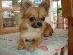 静岡県富士市のペットショップ仔犬の家Poccke6-16.JPG