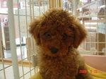 静岡県富士市のペットショップ仔犬の家Poccke6-20.JPG