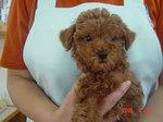 静岡県富士市のペットショップ仔犬の家Poccke(ポッケ)子犬・Tプードル3-18-3(メス・レッド).JPG