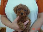 静岡県富士市のペットショップ仔犬の家Poccke(ポッケ)子犬・Tプードル4-6-1(メス・レッド).JPG