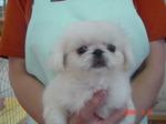 静岡県富士市のペットショップ仔犬の家Pocckeペキニーズ 白 メス3-8-1.JPG