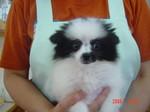 静岡県富士市のペットショップ仔犬の家Pocckeポメラニアン 白黒パーティーメス3-8-1.JPG