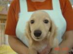 静岡県富士市のペットショップ仔犬の家Pocckeミニチュアダックス クリ−ム3-4-1オス.JPG